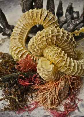Lighting Whelk Egg Case and Sea Fans