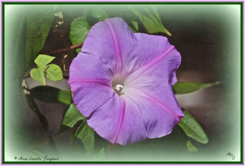 Morning Glory, Flower