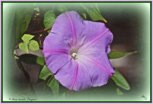 Morning Glory, Flower