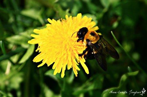 Bee, dandelion