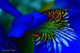 Iris, Blue