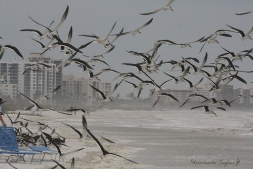 Black Skimmers, Fort Myers Beach, Florida,