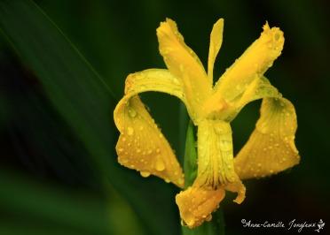 Iris, after the rain
