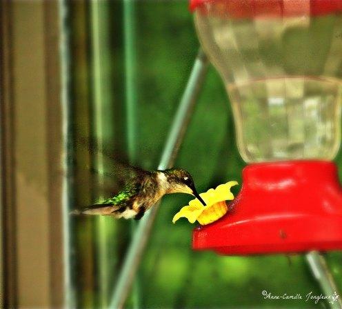 1Hummingbird01 pp