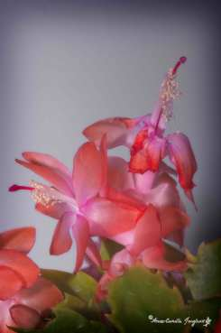 Schulumbergera bridgesii, or in less fancy words: Christmas Cactus