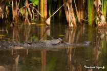 AlligatorInPond