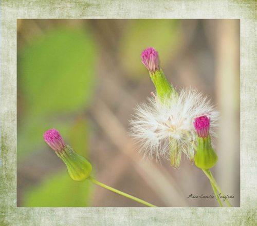 Pink Dandelion