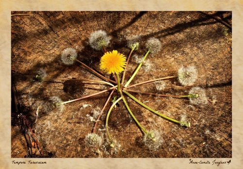 Dandelion Clock:  Past & Future in the Present