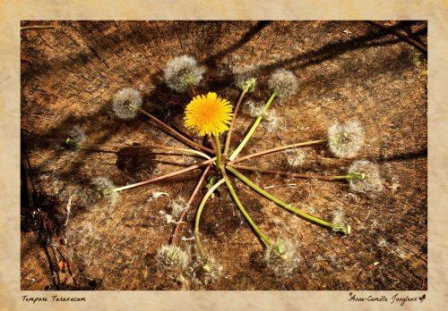 Dandelion Clock:  Past & Future in the Present