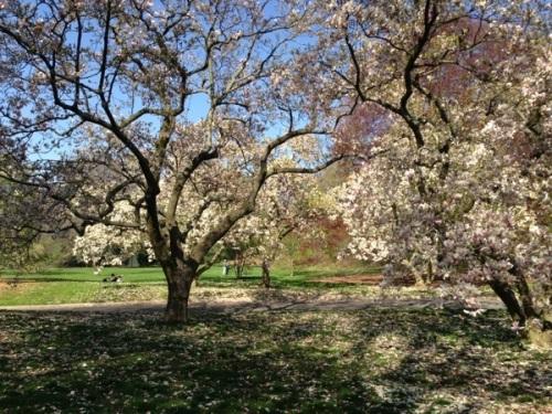 Magnolia Lane, New York Botanical Gardens, Apr 27, 2013