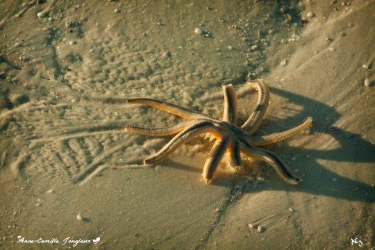 Starfish at sunrise, low tide.