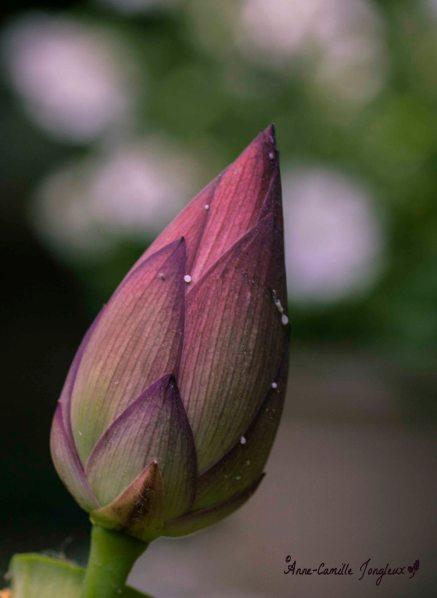 Simplicity: Lotus Bud