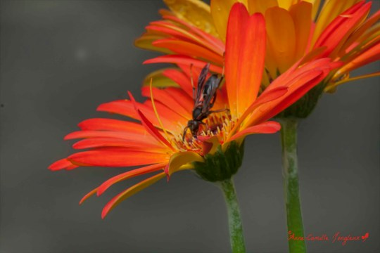 Gerbera Daisy, Wasp:  August Afternoon
