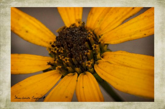 rudbeckia, wildflower, nature photography