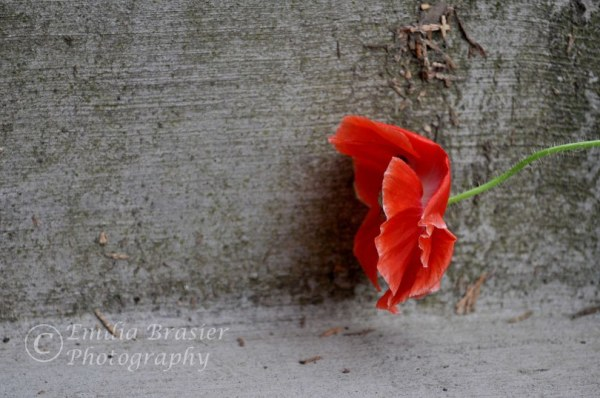Orange Poppy on Step