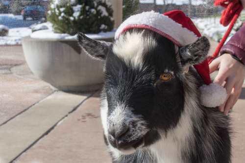 Santa goat