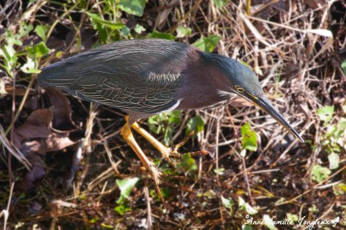 Green Heron, Six MIle Cypress