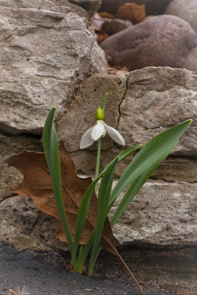 Snowdrop & Leaf:  Old &  New