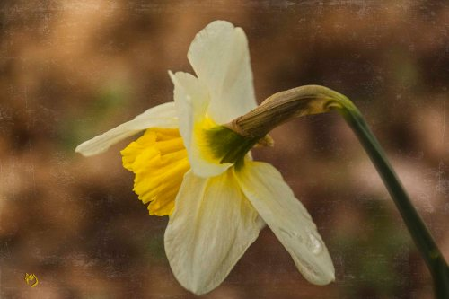 Spring, flowers, daffodils