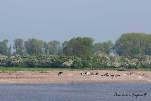 Suntanning cows