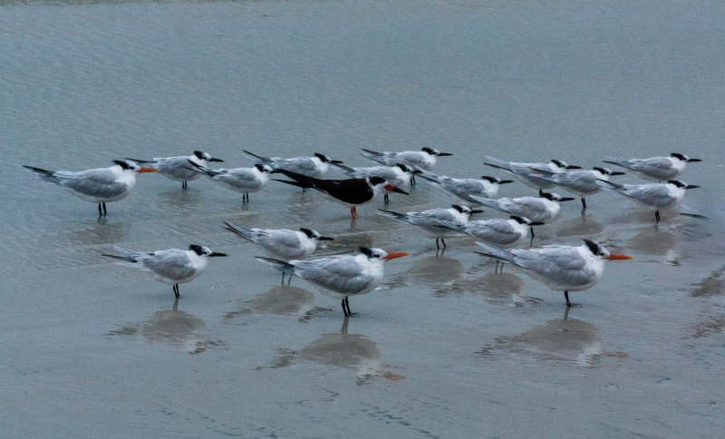 A bunch of Royal Terns, and one Black Skimmer
