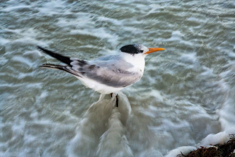 Royal Tern chilling in the rough surf.
